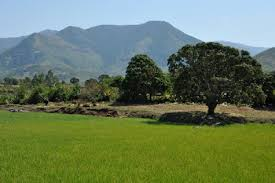 Manambaro rice fields